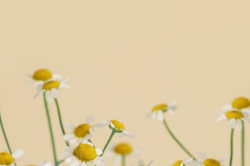 Fleurs de marguerite sur un fond beige